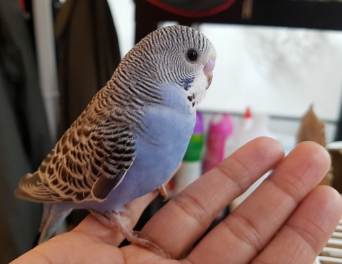 budgie taming and training