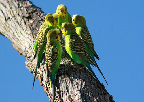 caring for budgies